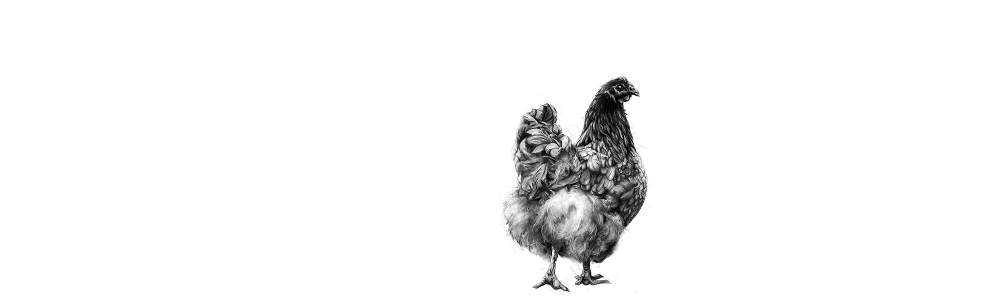 lucy-boydell-hen-drawing